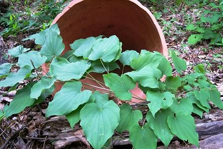 wild yam root benefits